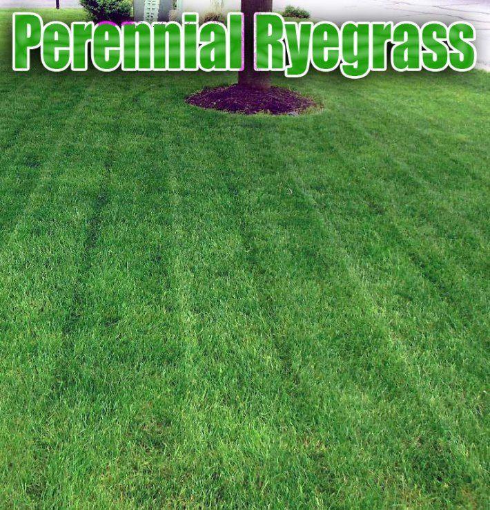 Big Backyard Landscaping Ideas: Perennial Ryegrass