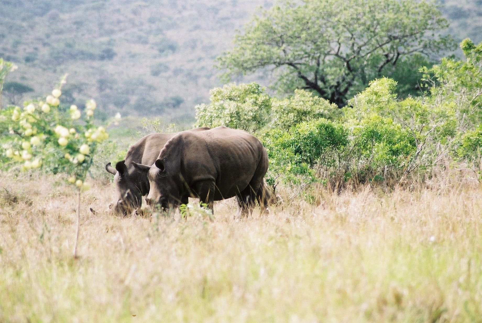 rhinoceros couple happy together