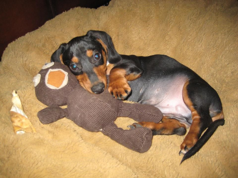 baby boy Zeke!!! photo via I love Dachshunds fb page