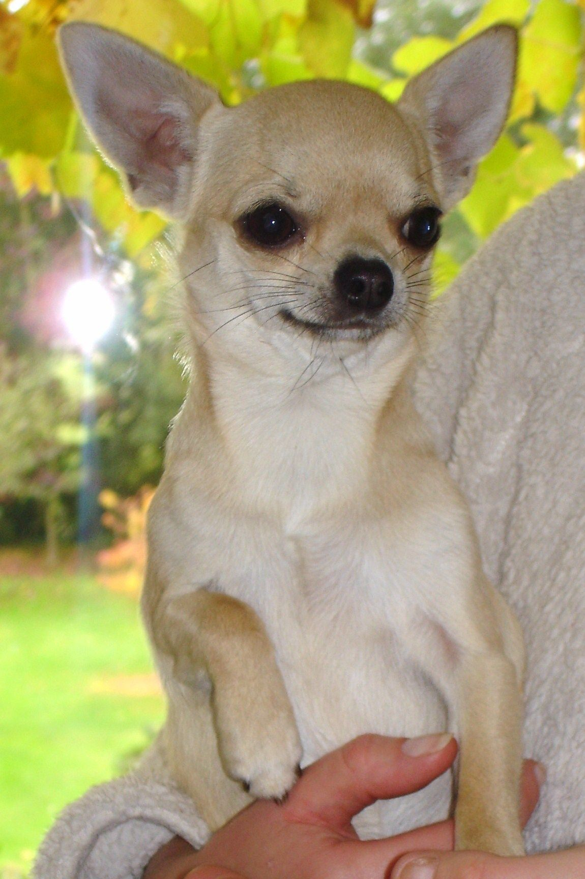 Pictures Of Chihuahuas Chihuahua Dog Breed Puppies Chihuahua