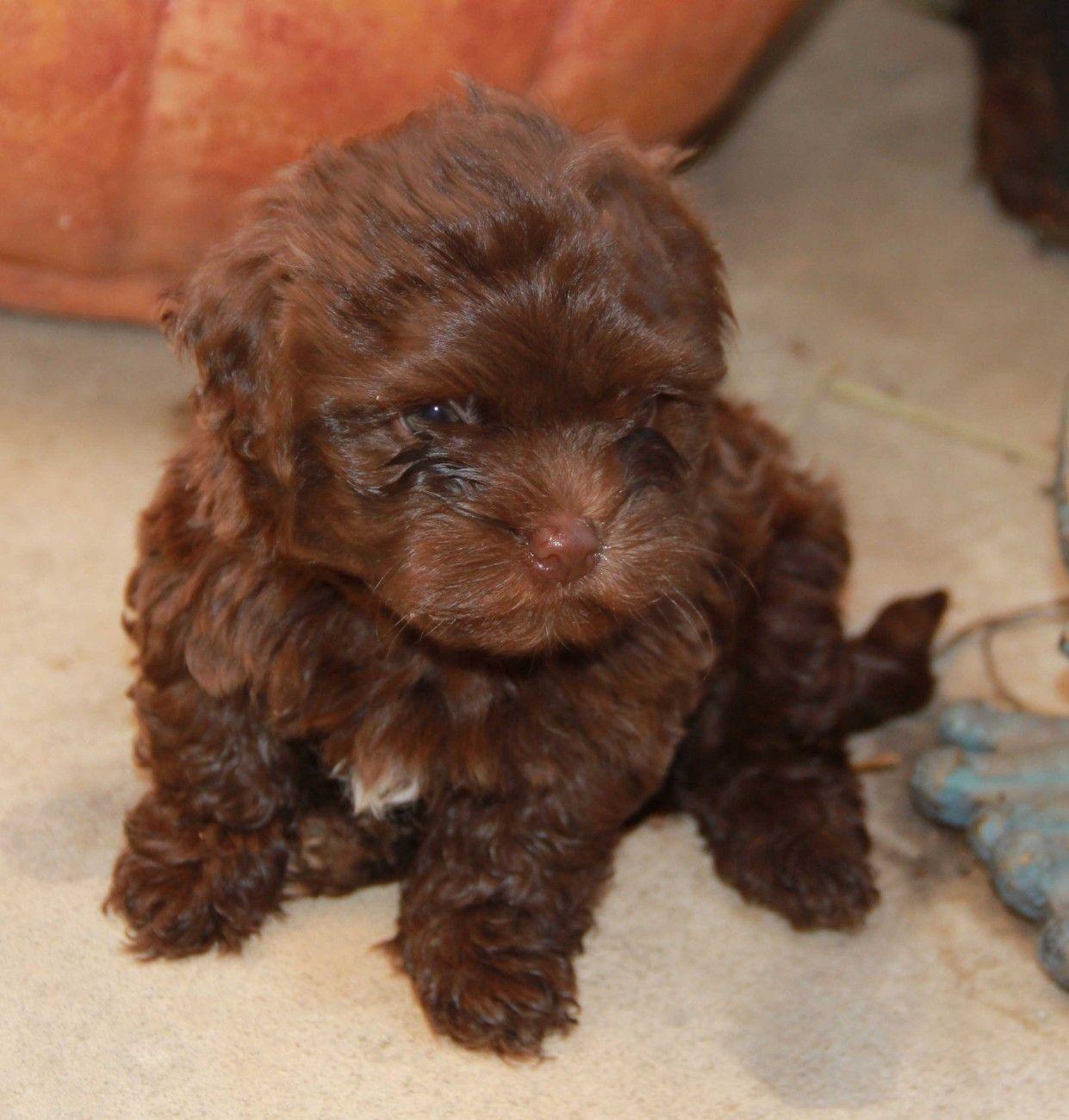 Chocolate Havanese Puppies | Animals | Pinterest | Havanese ...