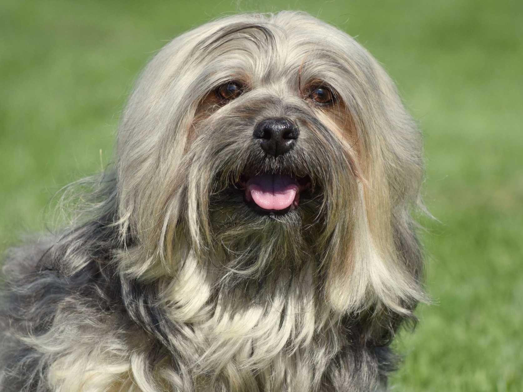 Carita Havanese Dog Breeders Boise Id Havanese Dogs