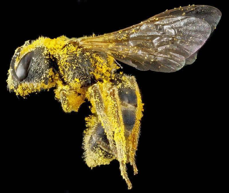 10 صور مميزة لأنواع مختلفة من نحل العسل Bee Insects Sweat Bees