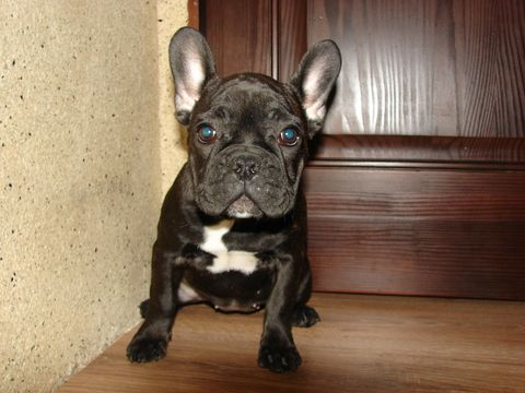 French Bulldog puppy for sale in TRYON, NC. ADN71659 on