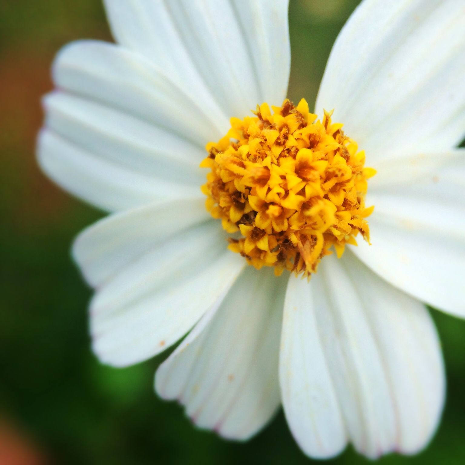 Not a just a weed bidens alba all parts of this plucky little daisy not a just a weed bidens alba all parts of this plucky little daisy izmirmasajfo Gallery