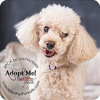 Victoria Bc Poodle Miniature Mix Meet Bim A Dog For Adoption Http Www Adoptapet Com Pet 13788462 Victoria British Miniature Poodle Dog Adoption Pets