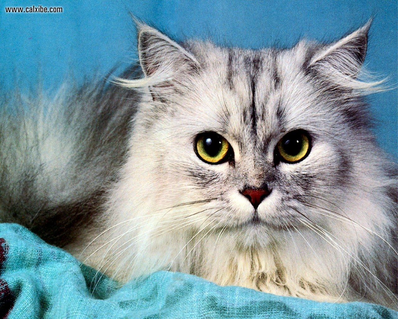 Persian Cat White And Gray Playful pets