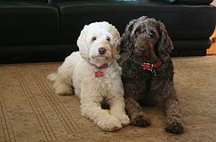 Labradoodle Puppies For Sale In Brisbane Pets