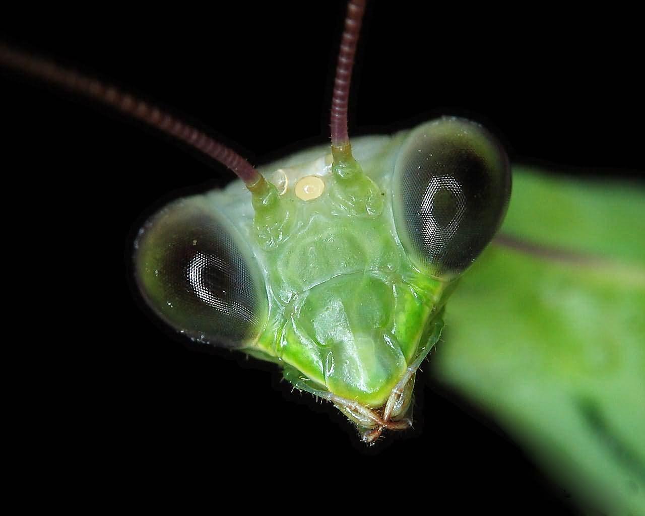what big eyes you have ~ praying mantis. | Colourful Life ...