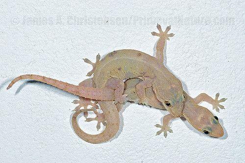 Hemidactylus Mabouia Lizard Animals Gecko