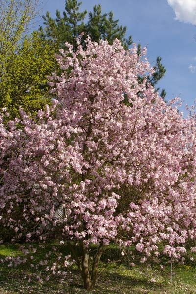 Image Result For Leonard Messel Kobushi Magnolia Treesshrubs