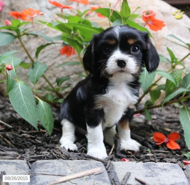Cavalier King Charles Spaniel Puppy for Sale in Indiana