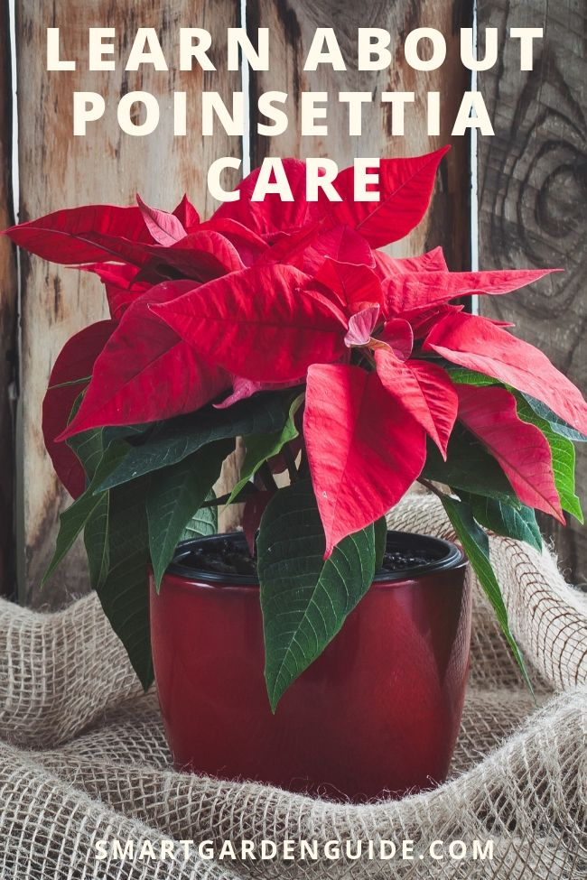 Poinsettia Plant Care - How To Look After Your Poinsettia | Poinsettia plant, Poinsettia care ...