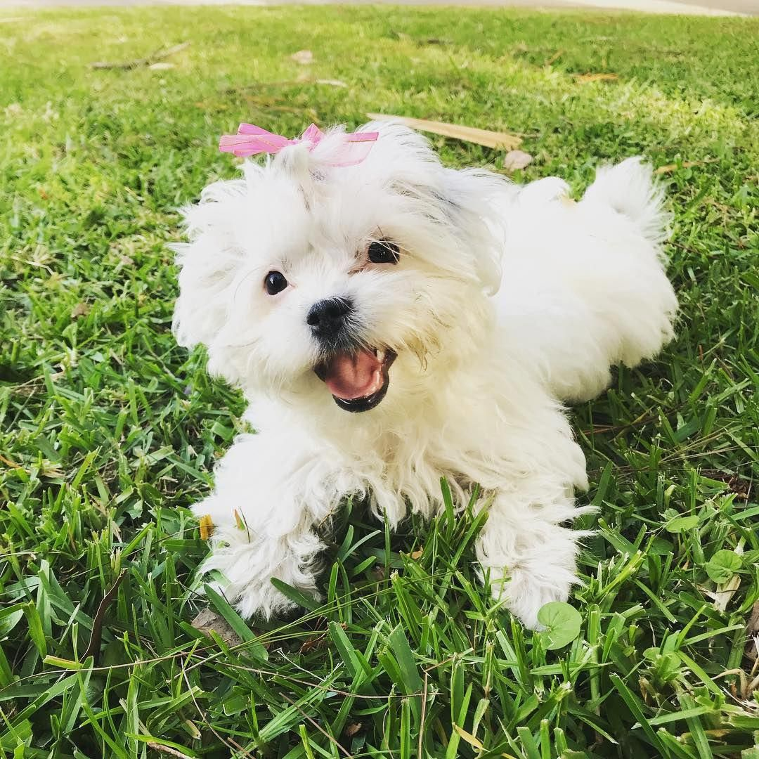 Shih Tzu Facts Teacup Puppies Maltese Maltese Dogs Maltese Puppy