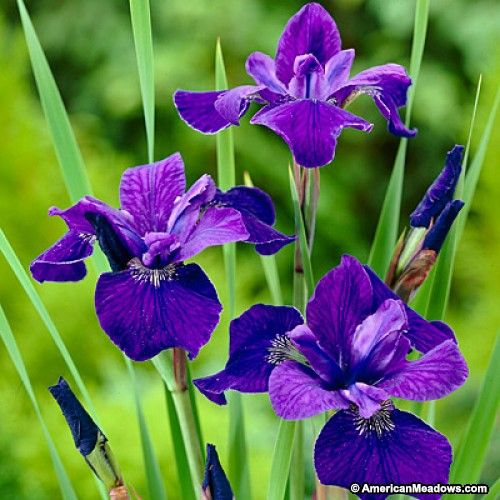 Caesar S Brother Siberian Iris Types Of Purple Flowers Purple Flowers Garden Iris Flowers