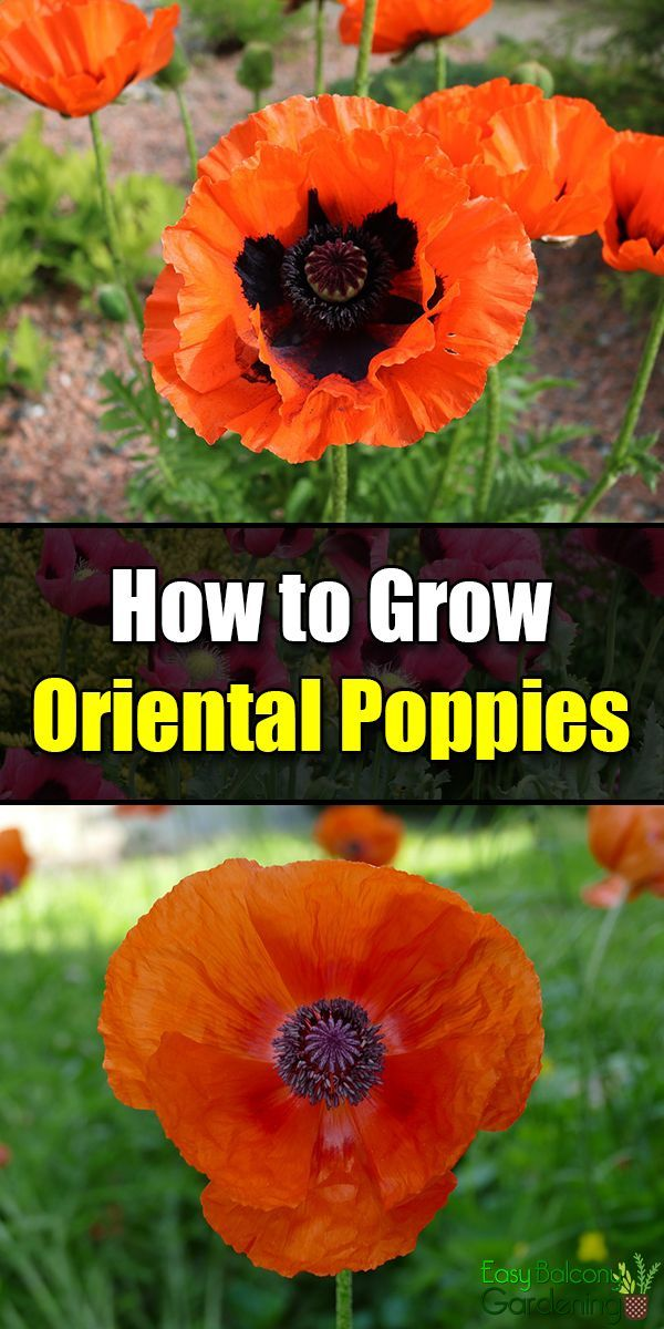 Photo of How to Grow Oriental Poppies