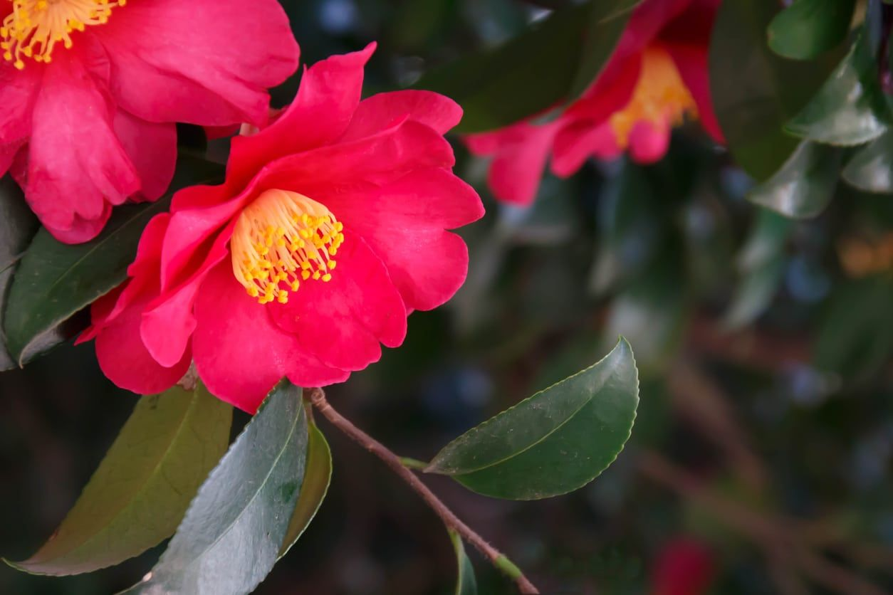 My Camellias Won T Bloom Tips For Making Camellias Flower Camellia Flower Camellia Plant Flowers