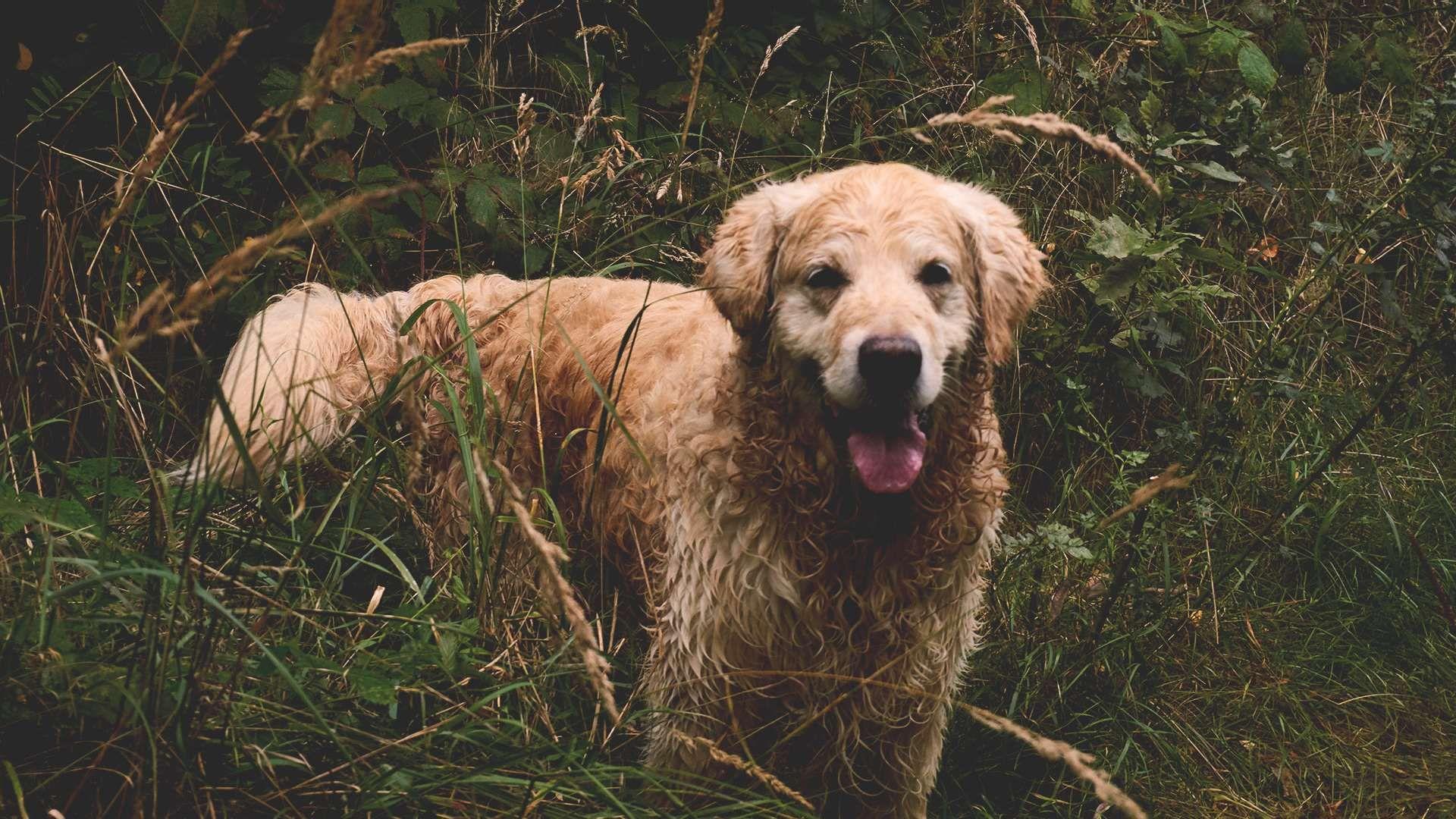Обои Собака, grass, animals. Собаки foto 12