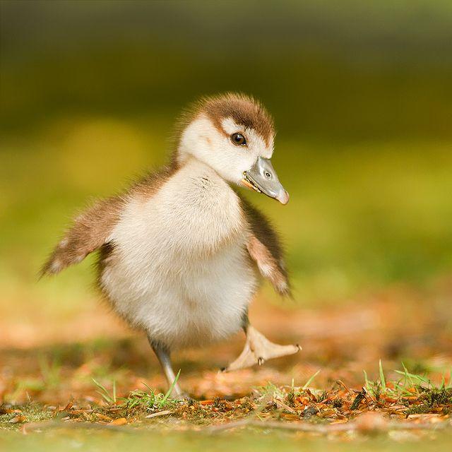 Happy Feet   (Egyptian Gosling)