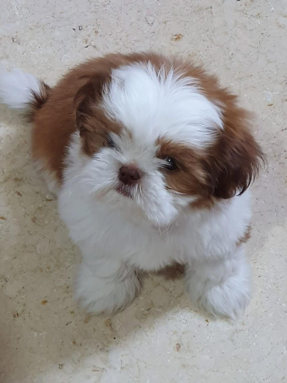 Determine Even More Details On Shih Tzu Puppies Look Into Our