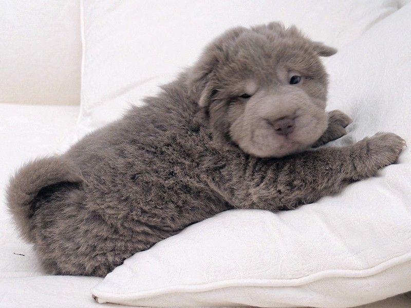 bear coat shar pei ---- | Djur. | Pinterest | Bear coat