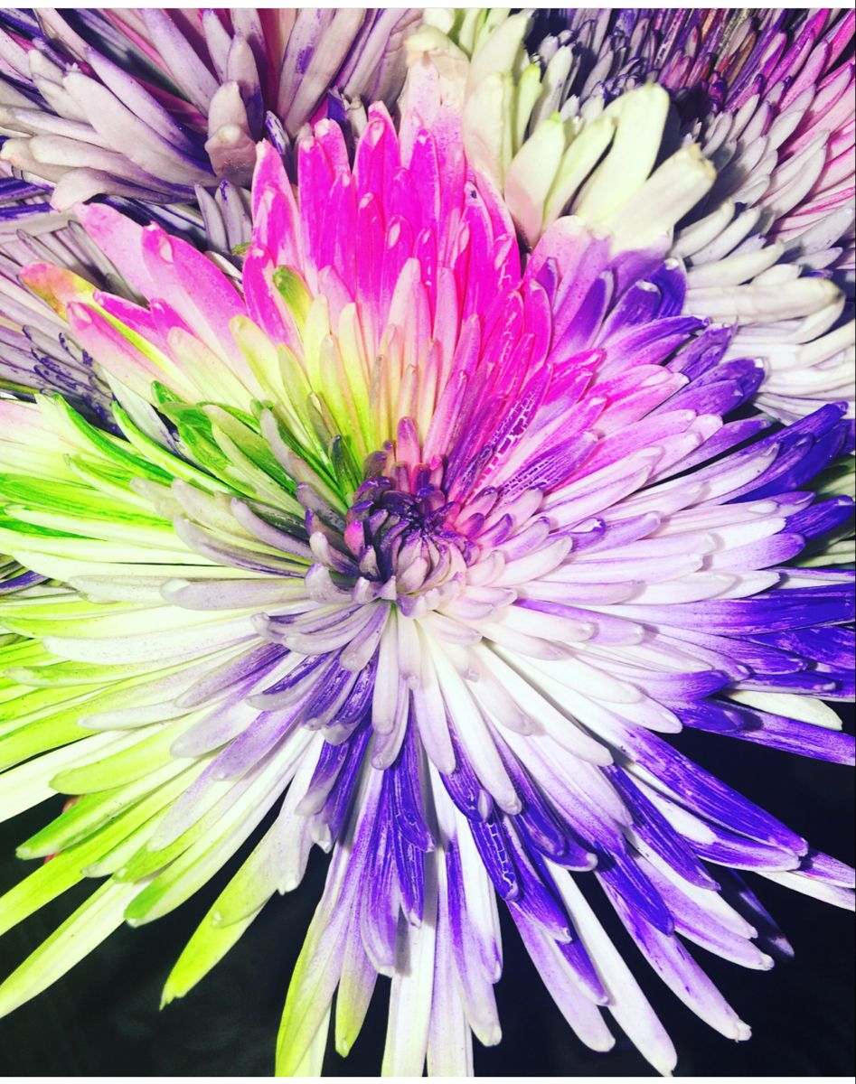 Spider Mums In 2020 Mums Flowers Wholesale Flowers Spider Mums