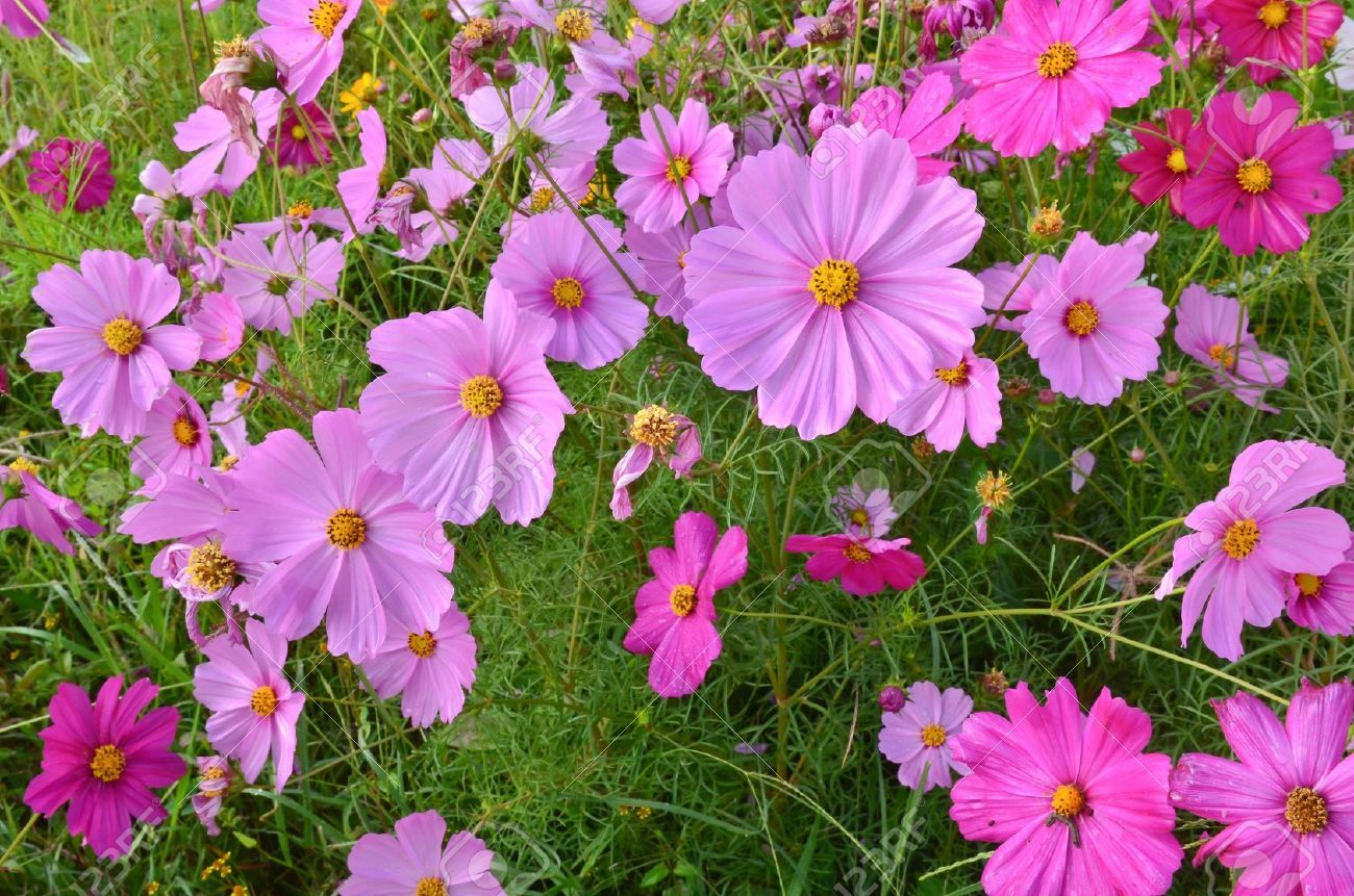 Beautiful Cosmos Flower Field Stock Photo 12660378 Cosmos Flowers Flower Field Flower Farm