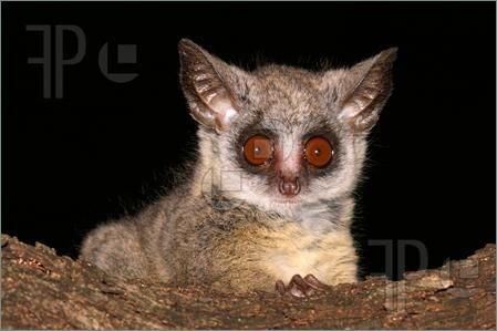 Nocturnal African Animals Baby Picture Of Portrait Of The