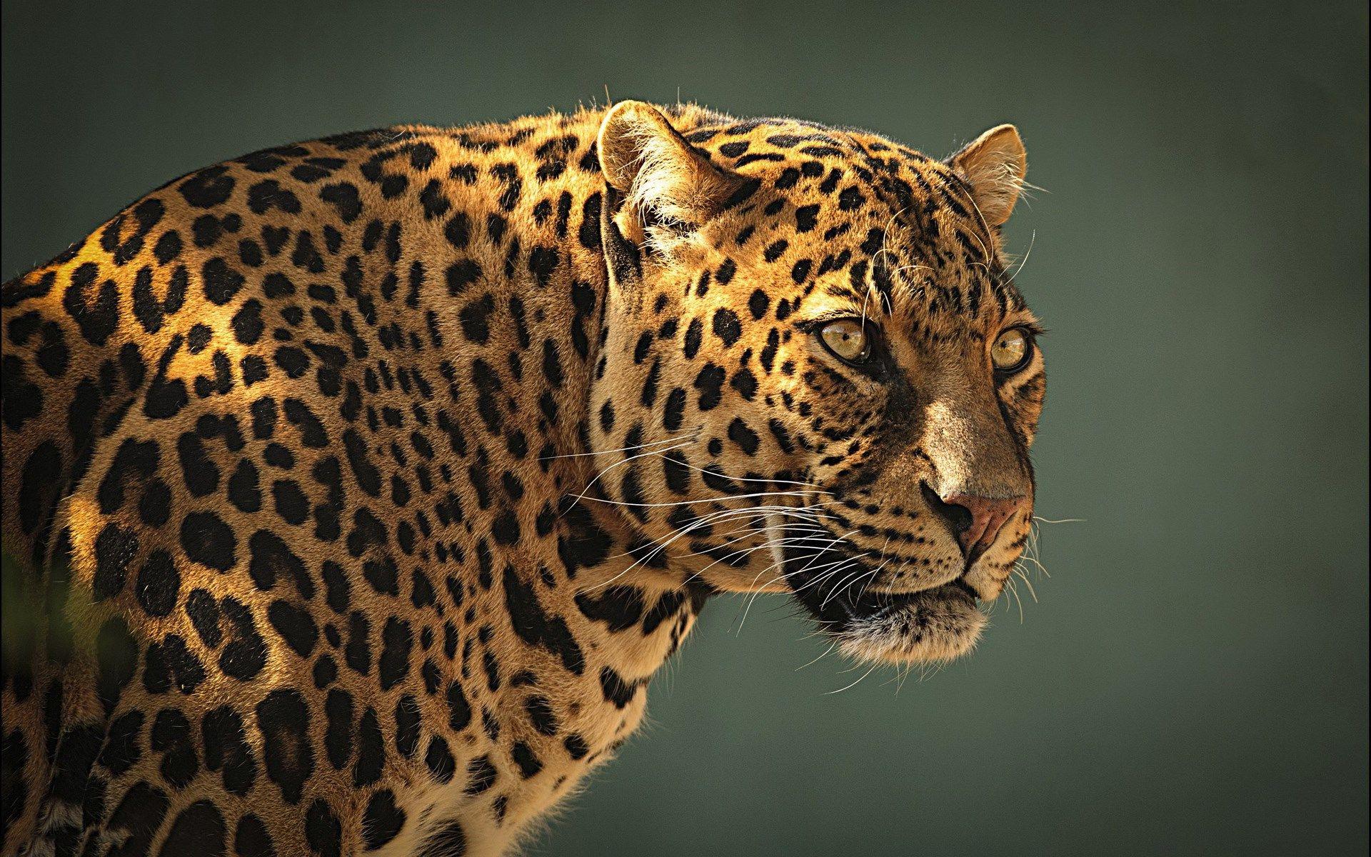 cheetah 4k ultra hd wallpaper o oshka Pinterest