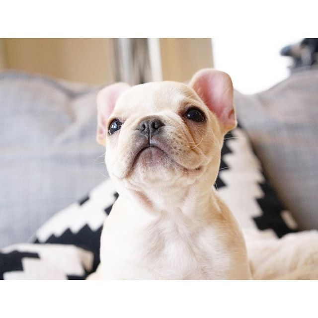 Leo, the French Bulldog Puppy, #frenchieleo