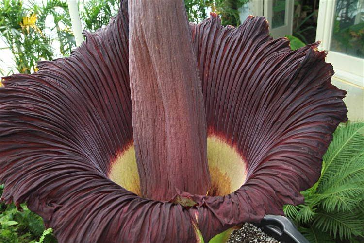 Corpse Flower Image By Dave Pape Cc By 2 0 Corpse Flower Unusual Plants Corpse Flower Bloom