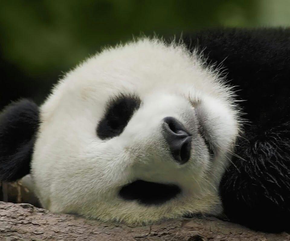 ... Panda ..