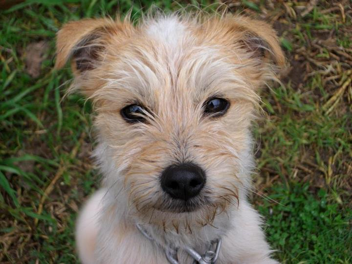 cute terrier mix | My Love for Terriers | Pinterest ...