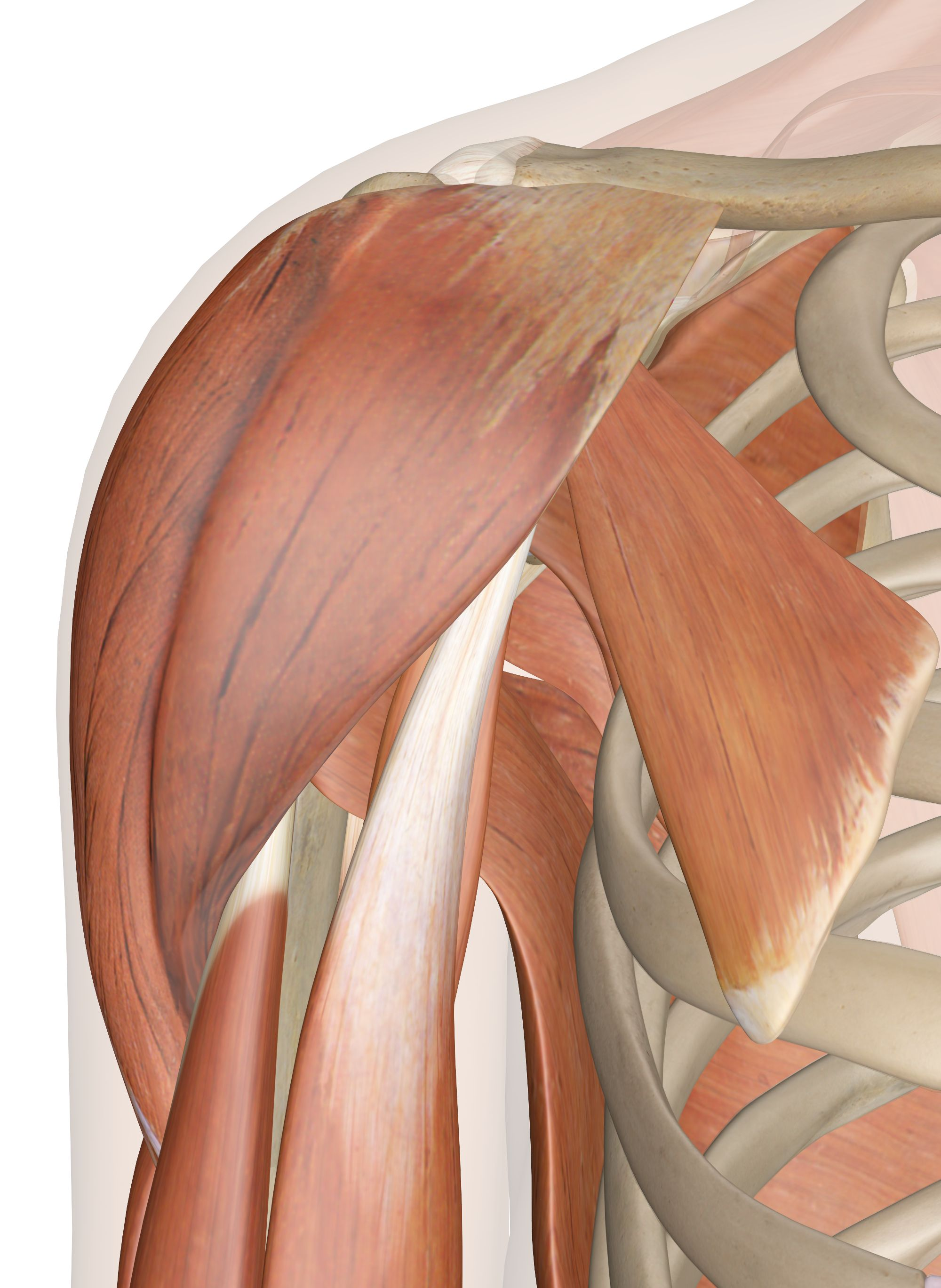 Shoulder Muscles Anatomy Diagram With Images