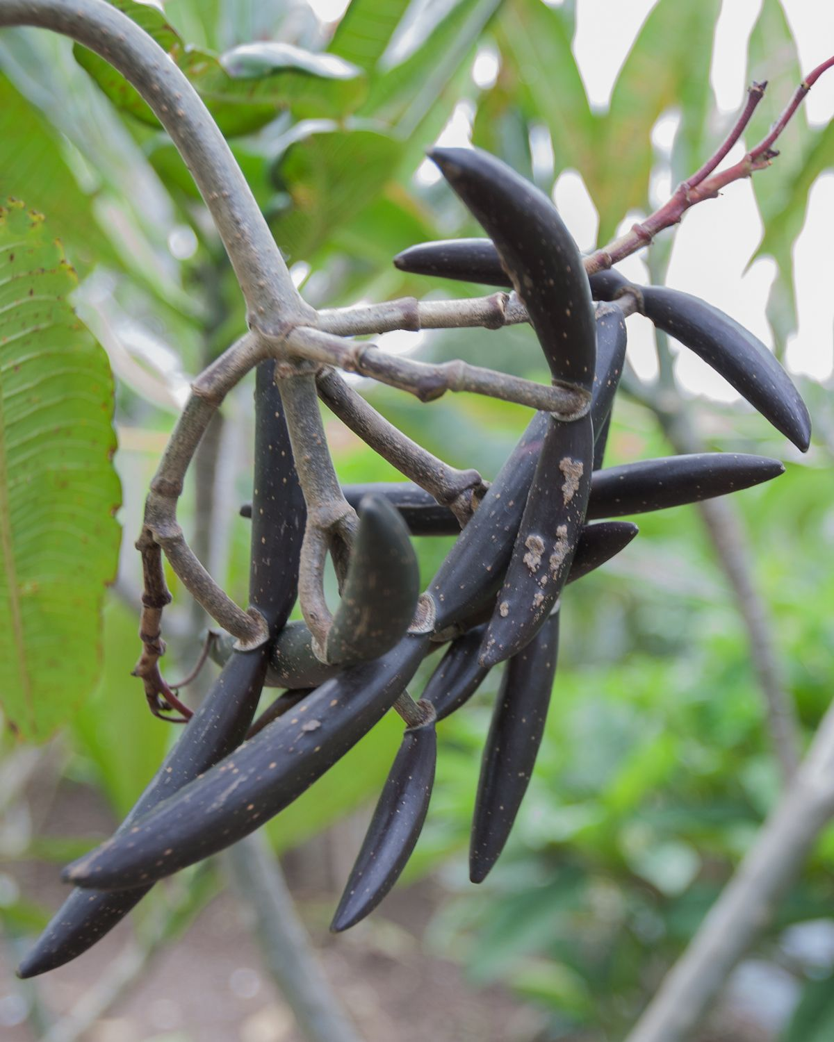 About Seed Pods Growing Plumeria From Seed Seed Pods Plumeria Plumeria Tree