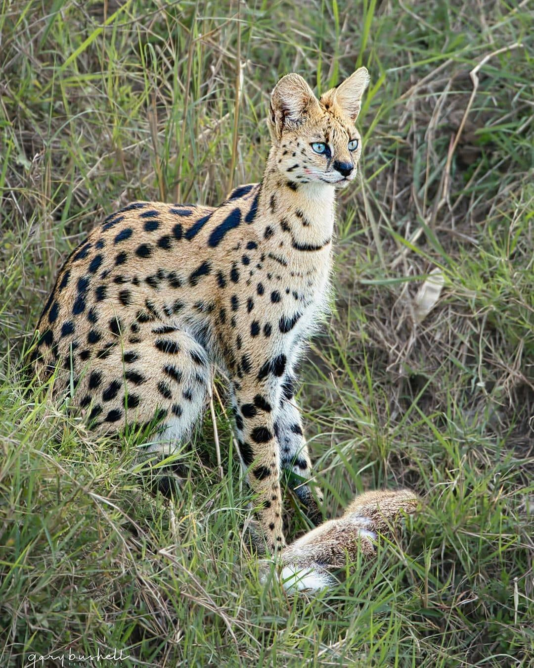 """1,726 Likes, 7 Comments - wildlife bigcats (@wildlife_bigcats) on  Instagram: """"Serval Cat Photo📷: @gbwild #wild… 