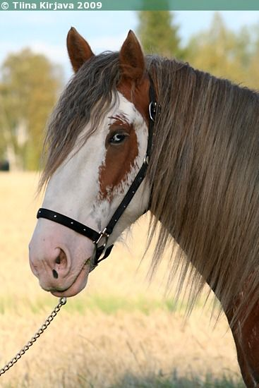 Clydesdale stallion Arclid Scottish Lad