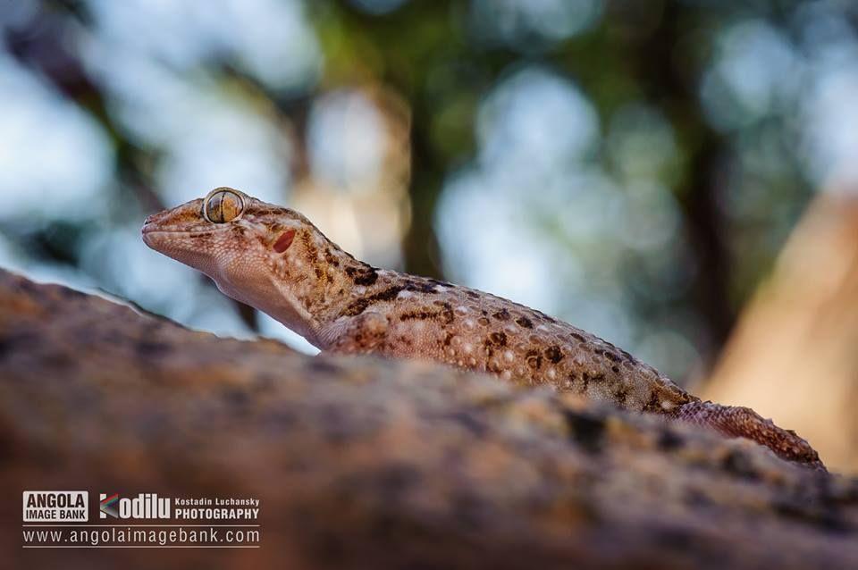 Lagartixa/Osga/Gecko no Parque Nacional do Iona, Deserto do Namibe - camuflagem perfeita! Angola. — em Angola Image Bank.