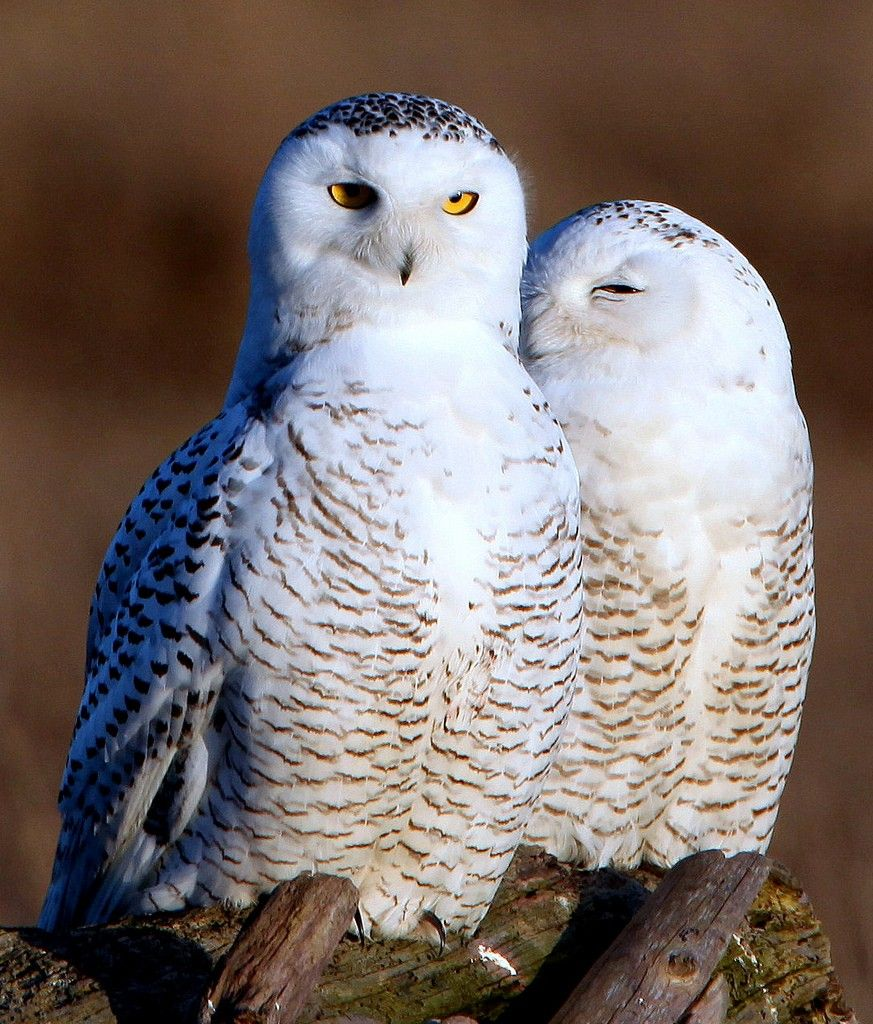 Cute baby white owl - photo#2