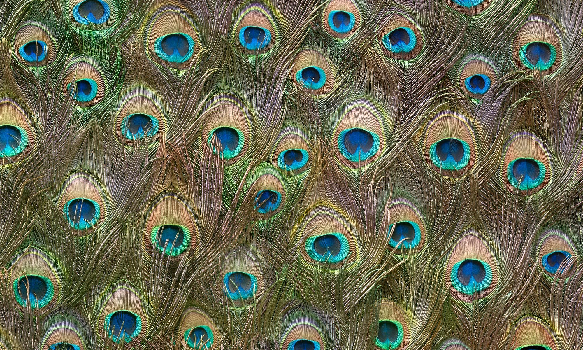 Zoë Design Peacock wallpaper, Wall wallpaper, Wallpaper