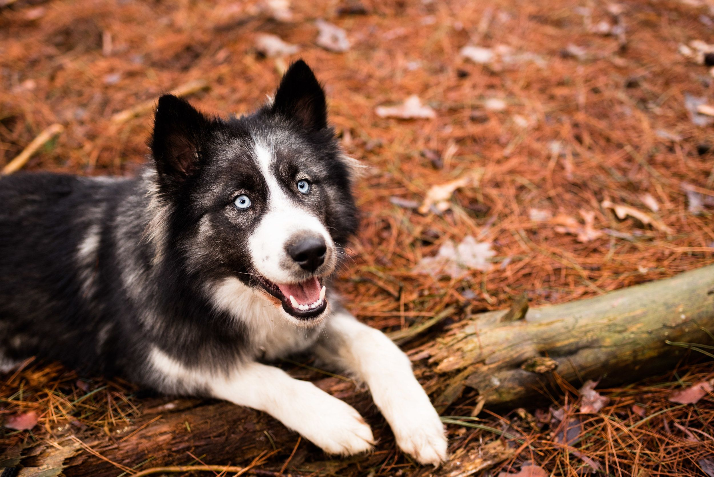 Toledo Pet Photography Metzger Huskies Oak Openings Pet Photographer Dog Pictures