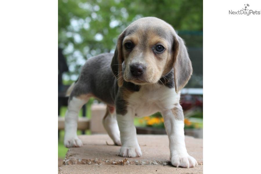 Meet Kannon A Cute Beagle Puppy For Sale For 1 000 Kannon Rare