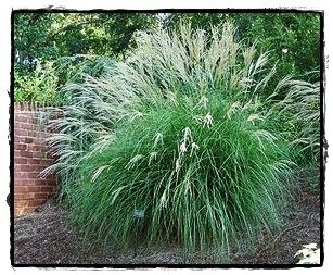 Little kitten maiden grass see the plant information for Maiden grass landscaping ideas