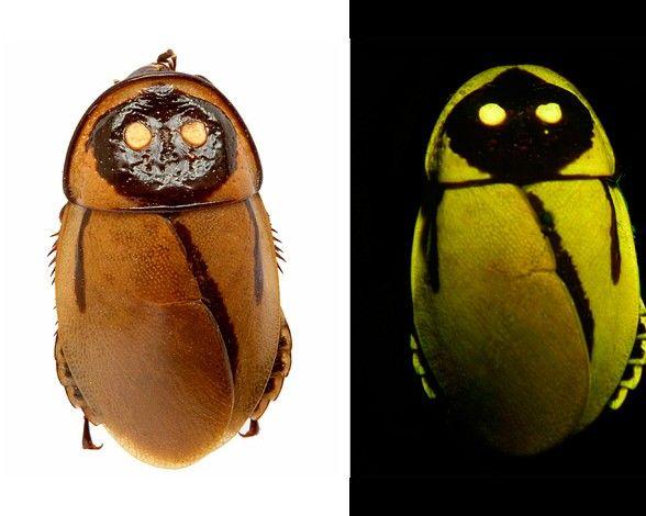cucaracha-bioluminiscente-3814.jpg (588×470)Una cucaracha que brilla en la oscuridad (Lucihormetica luckae, en la imagen
