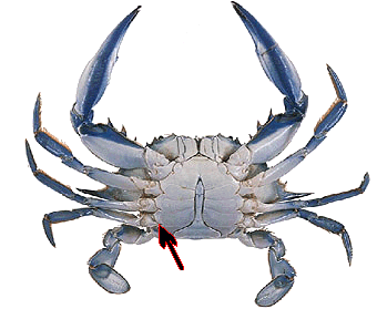 Underside Crab Google Search Crab Blue Crab Salt Water Fishing