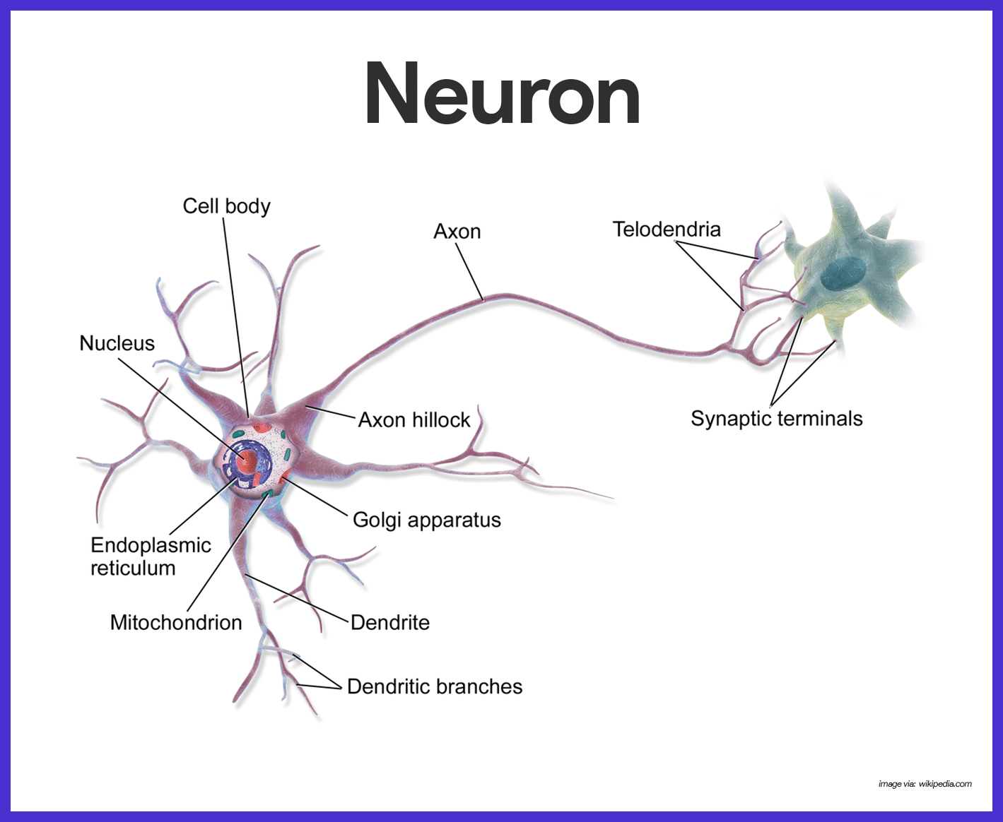 Attractive Neurological System Anatomy And Physiology Composition ...