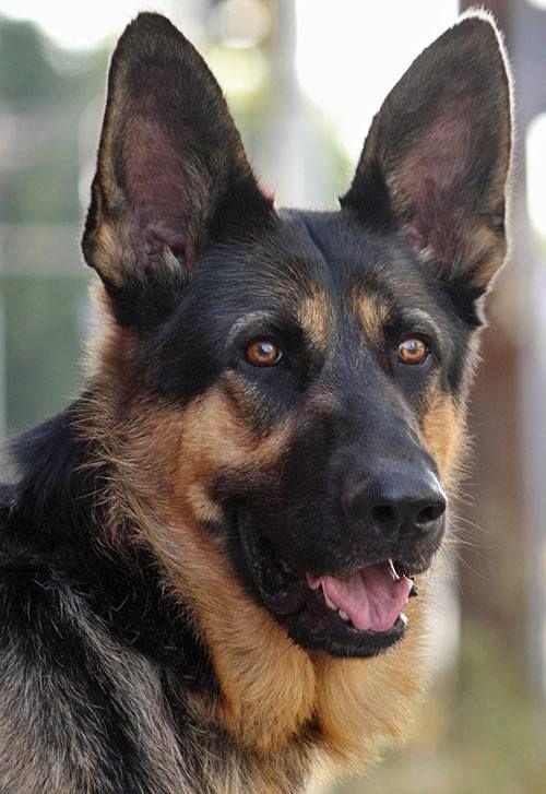 This Sooo Looks Like Our Tucker Shepherd Dog German Shepherd