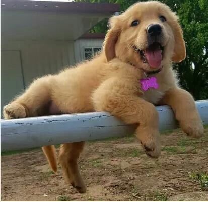Happiness With Golden Fur Cute Dogs Cute Baby Animals