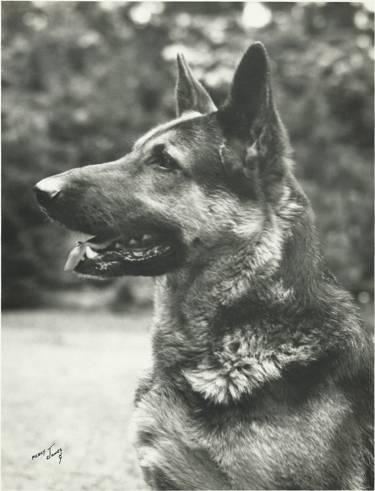 1950 60s 8x10 photo of German Shepherd Dog signed lower left by