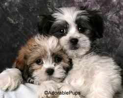 Shih Poo Pictures Google Search Shorkie Puppies